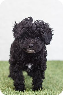 Poodle (Toy or Tea Cup) Mix Puppy for adoption in Auburn, California - Sadie