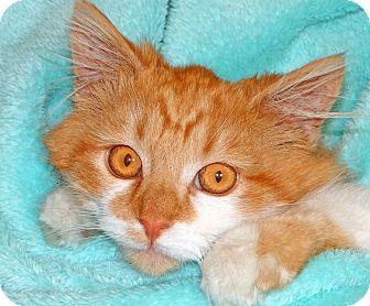 Domestic Mediumhair Cat for adoption in Renfrew, Pennsylvania - Titus