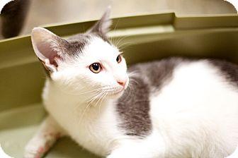 Domestic Shorthair Kitten for adoption in Las Vegas, Nevada - Snowcone
