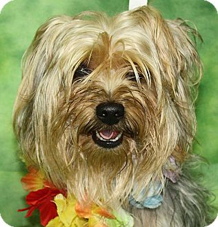 Yorkie, Yorkshire Terrier Mix Dog for adoption in Jackson, Michigan - Festus