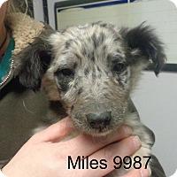 Adopt A Pet :: Miles - Greencastle, NC