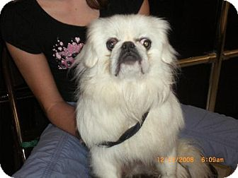 Pekingese Dog for adoption in Long Beach, California - Simon