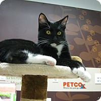 Domestic Shorthair Cat for adoption in Brea, California - JAX THE TUX