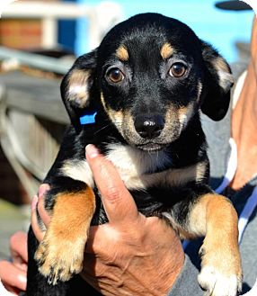 Dachshund/Terrier (Unknown Type, Small) Mix Puppy for adoption in Freeport, New York - Tonka