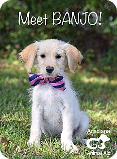 Schnauzer (Miniature) Mix Puppy for adoption in Glastonbury, Connecticut - Banjo ***ADOPTION PENDING***