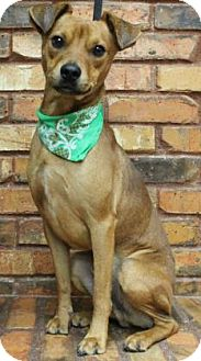 Patterdale Terrier (Fell Terrier) Mix Dog for adoption in Benbrook, Texas - Mario