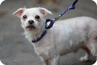 Maltese Mix Dog for adoption in Midland, Michigan - Teddy - $75