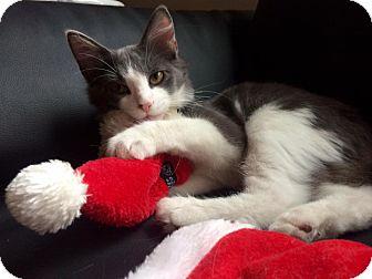 Domestic Mediumhair Kitten for adoption in Chapel Hill, North Carolina - Alvin