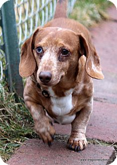 Dachshund Dog for adoption in Spokane, Washington - Charlie, pending home