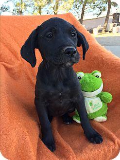 Labrador Retriever Mix Puppy for adoption in Studio City, California - Ethel