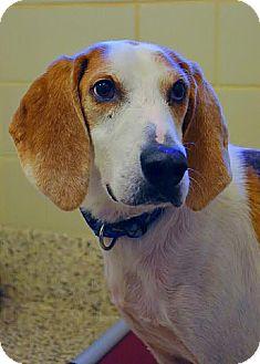 Hound (Unknown Type) Mix Dog for adoption in Aiken, South Carolina - Reggie