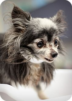 Chihuahua/Papillon Mix Dog for adoption in College Station, Texas - Parsley (3.75 pounds)