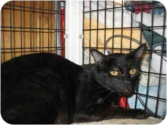 Domestic Shorthair Cat for adoption in South Lake Tahoe, California - Ashley
