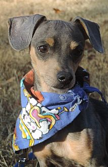 Chihuahua Mix Dog for adoption in Anderson, South Carolina - Cory