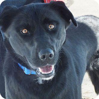 Labrador Retriever/Newfoundland Mix Dog for adoption in Minneapolis, Minnesota - Ben