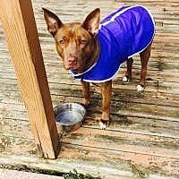 Adopt A Pet :: Priscilla - Crown Point, IN