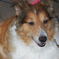 Sheltie, Shetland Sheepdog/Sheltie, Shetland Sheepdog Mix Dog for adoption in Jemez Springs, New Mexico - Missy lee