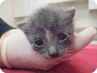 Domestic Mediumhair Kitten for adoption in Santa Maria, California - O-5