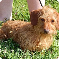 Adopt A Pet :: Heidi (8 lb) Precious Pea - Twinsburg, OH