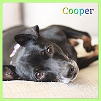 Adopt A Pet :: Cooper - Hollywood, FL