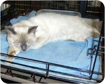 Siamese Cat for adoption in Overland Park, Kansas - Phoenix