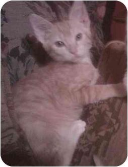 Domestic Shorthair Kitten for adoption in Bartlett, Tennessee - Tom
