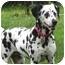 Photo 1 - Dalmatian Dog for adoption in Upper Marlboro, Maryland - PURDY