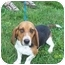 Photo 4 - Basset Hound Dog for adoption in Shelbyville, Kentucky - Flash