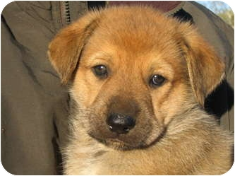 German Shepherd Dog Mix Puppy for adoption in Dripping Springs, Texas - Winston
