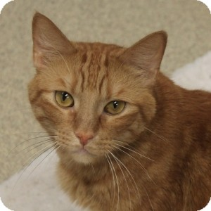 Domestic Shorthair Cat for adoption in Naperville, Illinois - Maurice