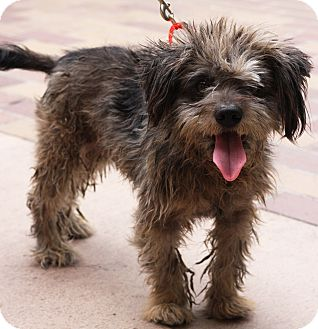 Terrier (Unknown Type, Small) Mix Dog for adoption in Los Angeles, California - VESPA