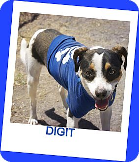 Jack Russell Terrier Mix Dog for adoption in Corpus Christi, Texas - Digit