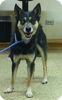 Siberian Husky/Shiba Inu Mix Dog for adoption in Chicago, Illinois - MIKA