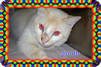 Oriental Cat for adoption in muskogee, Oklahoma - jacob