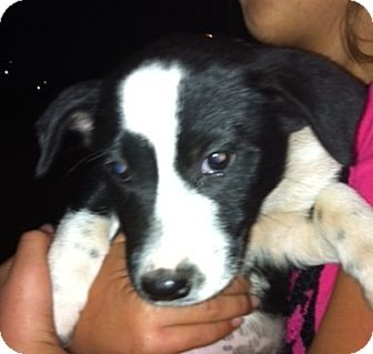 Beagle/Labrador Retriever Mix Puppy for adoption in Nuevo, California - Kala