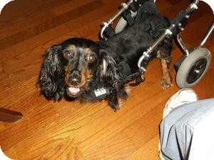 Dachshund Mix Dog for adoption in Georgetown, Kentucky - MACI