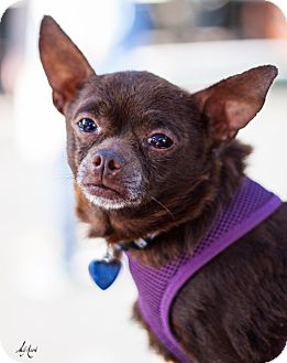 Chihuahua Mix Dog for adoption in Burbank, California - Oso