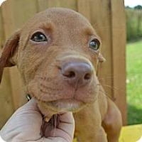 Adopt A Pet :: Vaccaro - New Boston, MI