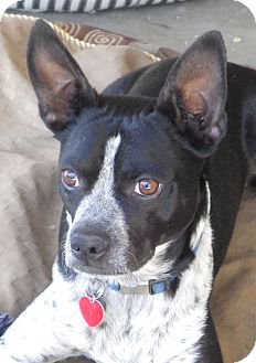 Boston Terrier Mix Dog for adoption in Quail Valley, California - Cooper