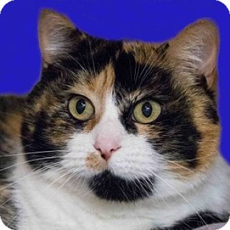 Calico Cat for adoption in Calgary, Alberta - Molly