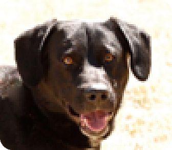 Cattle Dog/Labrador Retriever Mix Dog for adoption in Portola, California - Kenny