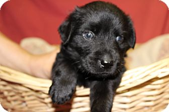 Labrador Retriever Mix Puppy for adoption in Waldorf, Maryland - Lil' Mac