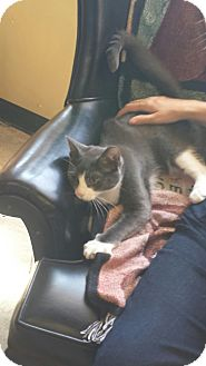 Domestic Shorthair Kitten for adoption in SHELBY TWP, Michigan - Billy