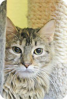 Domestic Mediumhair Cat for adoption in Benbrook, Texas - Lola