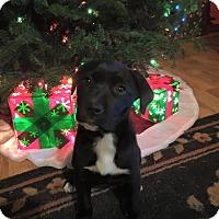 Adopt A Pet :: Mittens - Burlington, NJ