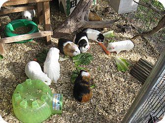 Guinea Pig for adoption in Christmas, Florida - Guinea Pigs( 3F & 4M))