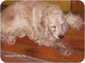 Cocker Spaniel Dog for adoption in Wauseon, Ohio - Kelly