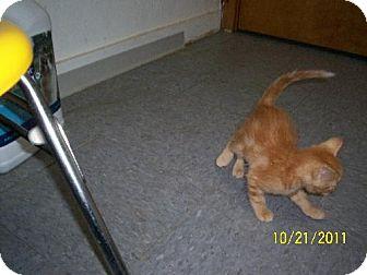 Domestic Shorthair Kitten for adoption in New London, Iowa - Peanut