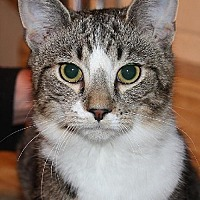 Domestic Shorthair Cat for adoption in Columbus, Ohio - CharlieJoe