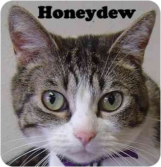 Domestic Shorthair Cat for adoption in Eugene, Oregon - Honeydew